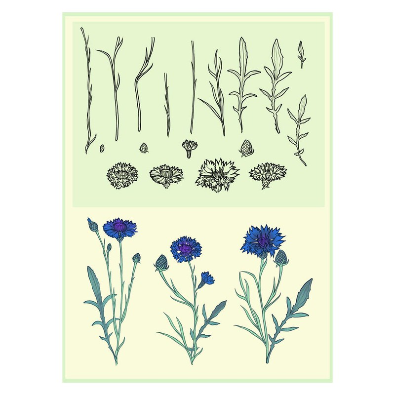 Photoshop brushes flowers, cornflowers, plant, nature
