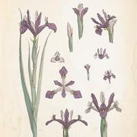 Iris Flowers Free PSD